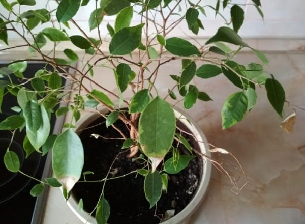 Сохнут кончики листьев у фикуса
