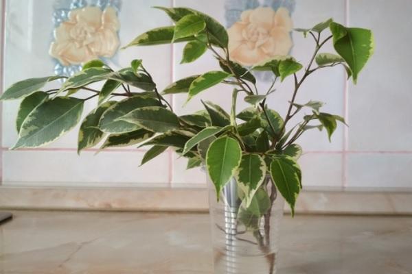 Черенки растения в воде