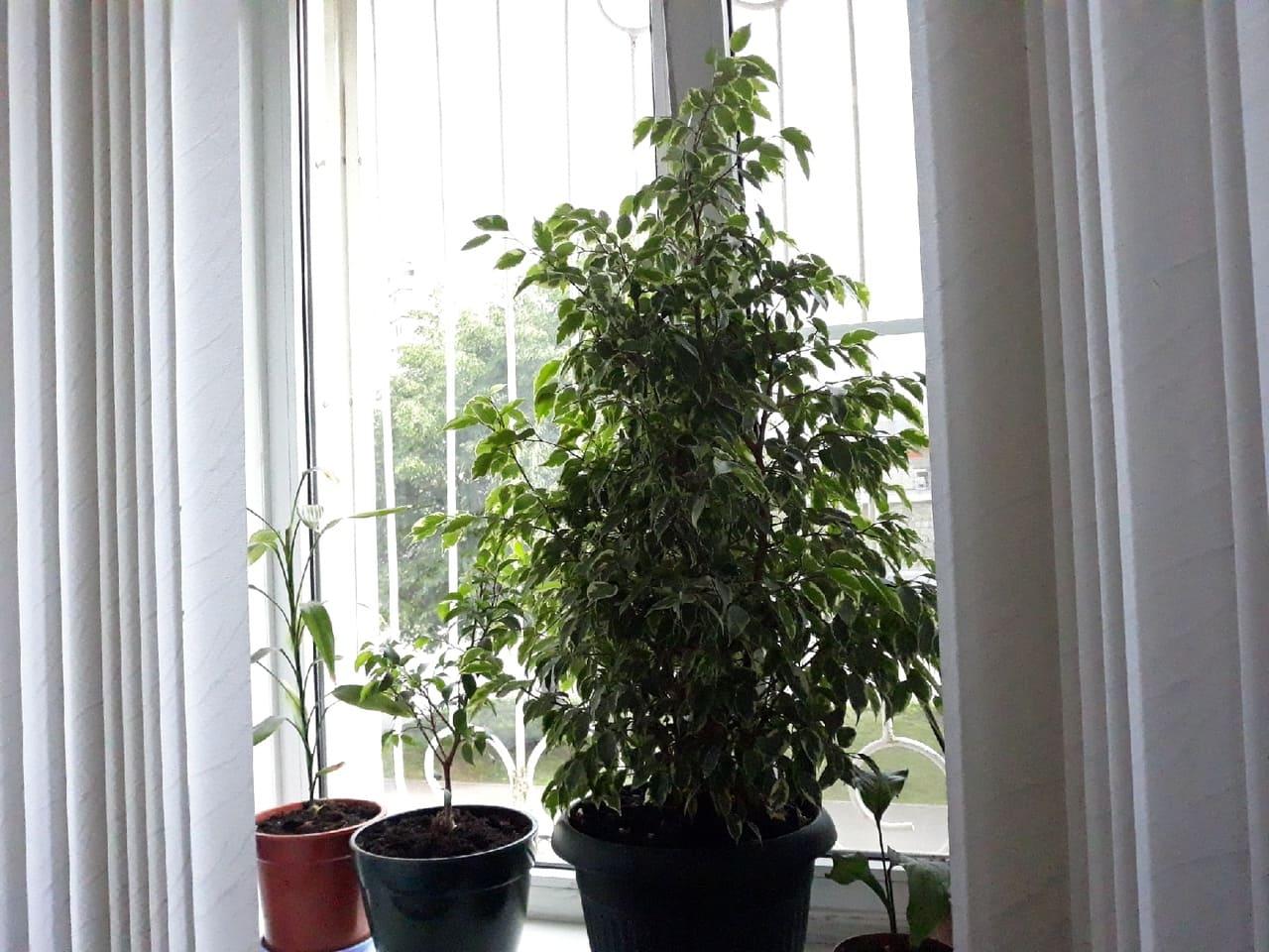 Взрослое растение на подоконнике