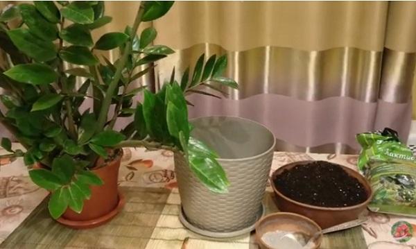 Подготовка к пересадке растения