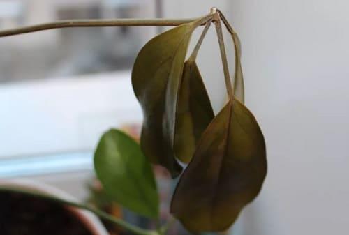 Чернеют листья