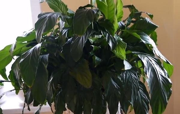 Женское счастье с поникшими листьями