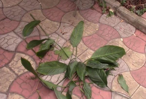 Обрезанные листья