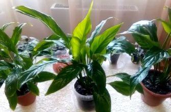 Комнатные растения женское счастье