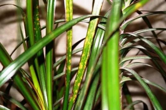 Пятна на листовых пластинах
