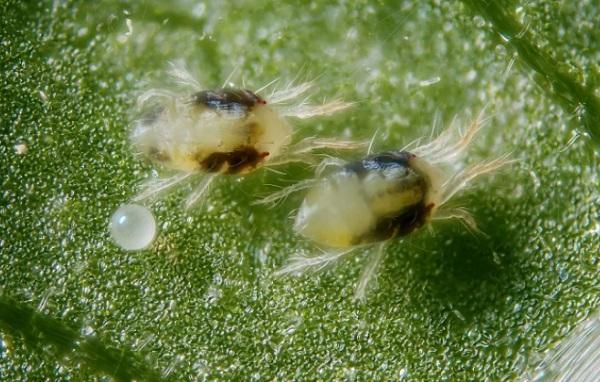 Клещи на листике
