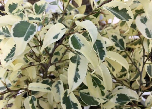 Листья Старлайт