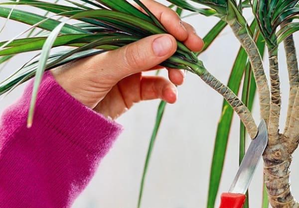 Обрезка верхушки растения