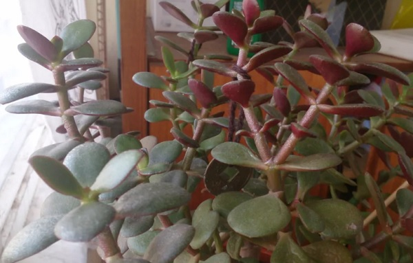 Красные листья снизу у толстянки