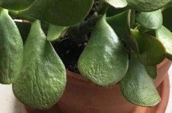 Истончение листочков у крассулы