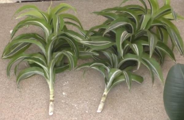 Обрезанные макушки растения