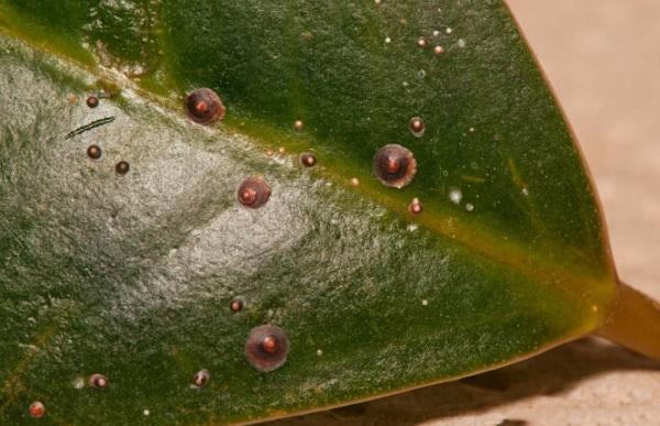 Пораженный вредителем лист фикуса