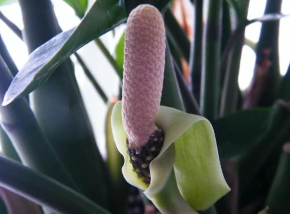Цветущий замиокулькас