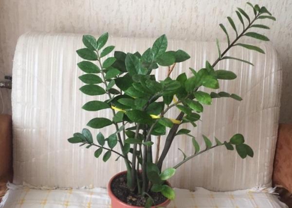 Подвязывание листьев замиокулькаса