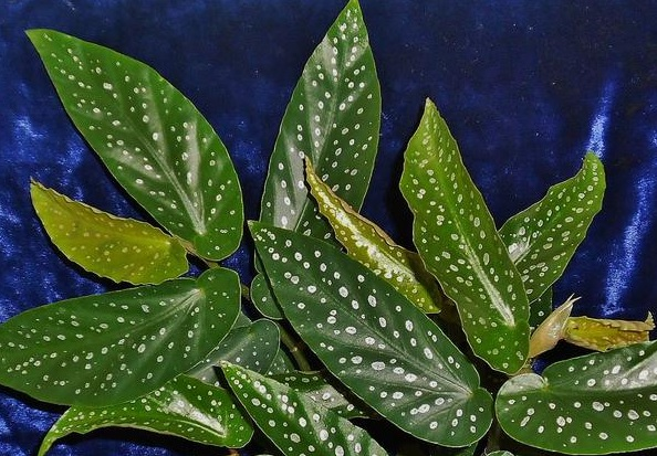 Begonia alba-picta
