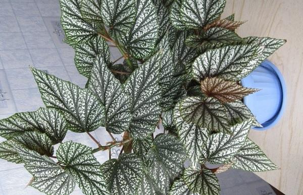 Begonia argenteo-guttata