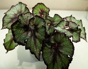 Begonia rex Charm