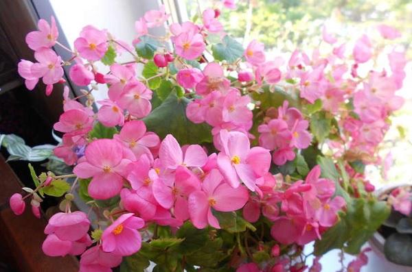 Begonia x Lorrain