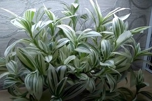 Сорт Белоцветковая