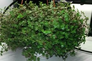 Tradescantia microphylla