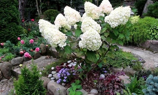 Садовая гидрангея