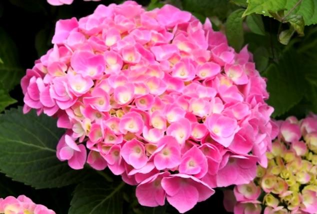 Гидрангея с розовыми цветами