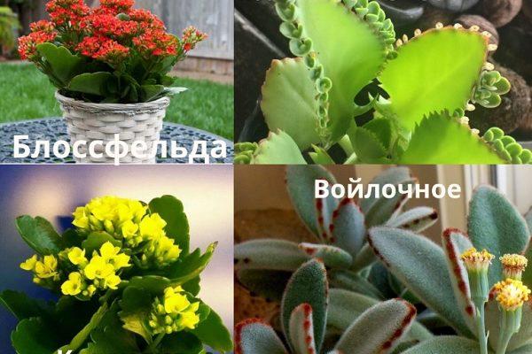 Сорта растения