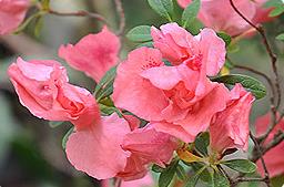Вервениана Розеа