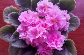 Сенполия с розовыми цветками
