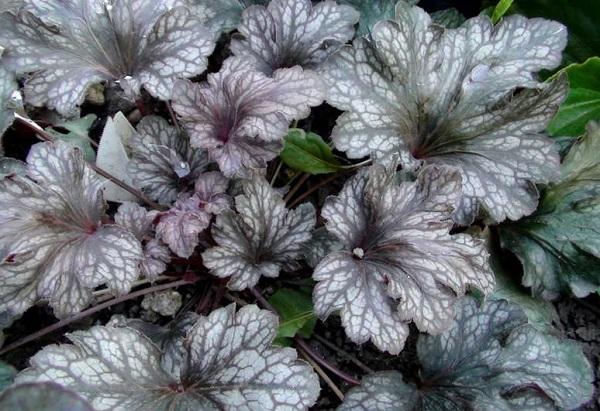 Мраморный окрас листьев