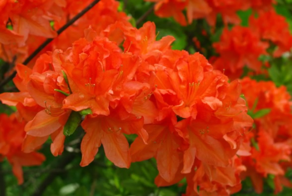 Rhododendron molle subsp. Japonicum