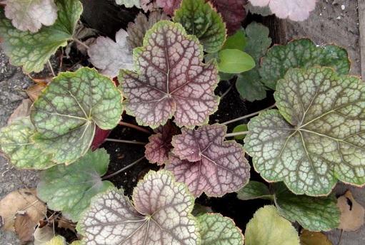 Куст с разноцветными листьями