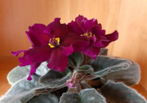 Скудное цветение сенполии