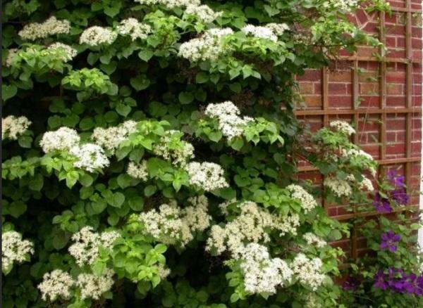 Вьющееся растение вдоль стены