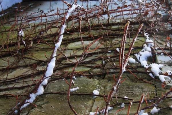 Зимовка растения