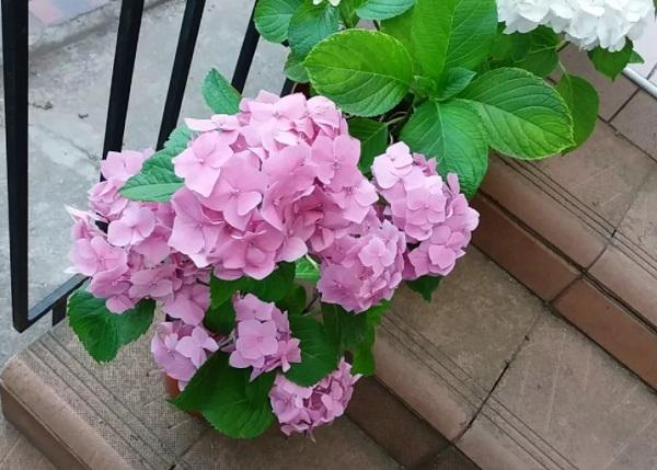 Цветущий куст домашней гортензии