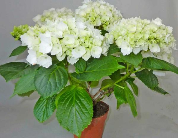 Комнатная гидрангея с бело-лаймовыми цветами
