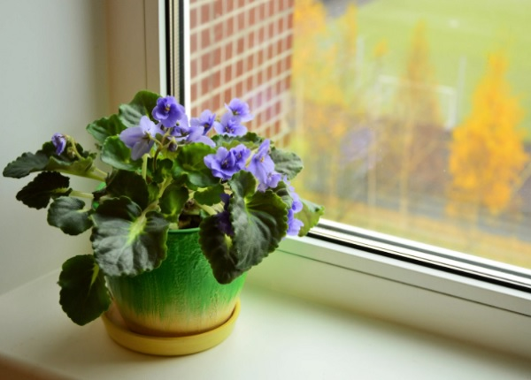 Сенполия на окне