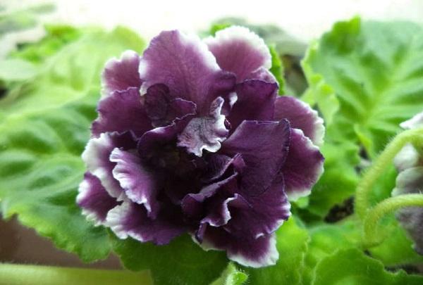 Цветок сенполии