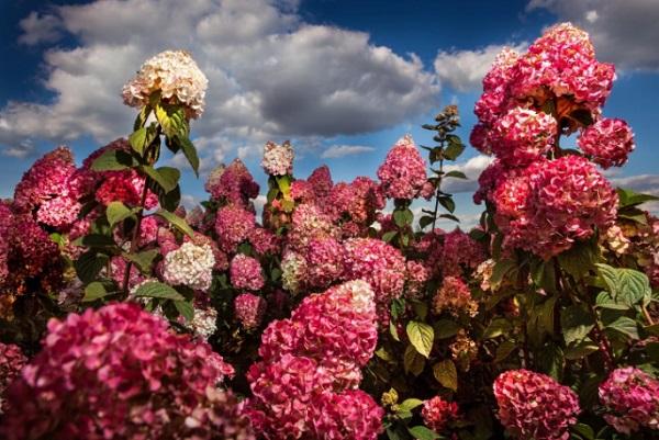 Период цветения кустарника