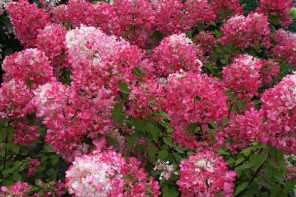 Кустарник в начале цветения