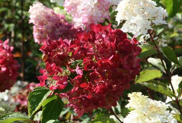Белые и красные соцветия Даймонд Руж