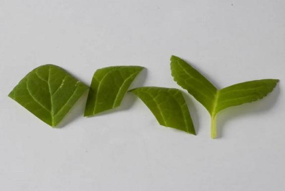 Фрагменты листа для размножения