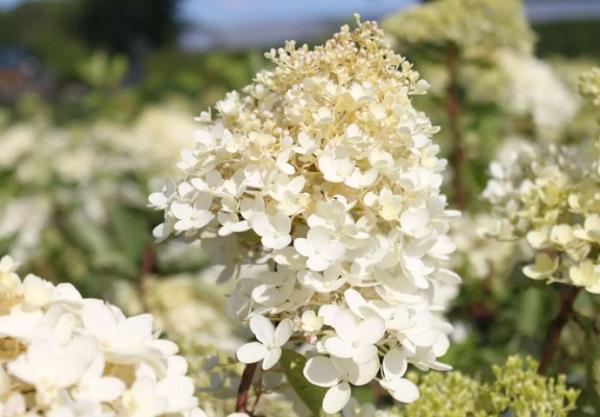Цветущие метелки Грандифлоры