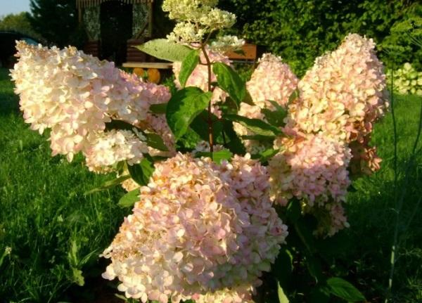 Грандифлора в конце цветения