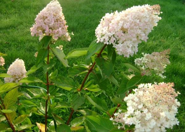 Цветущий куст гортензии Грандифлора