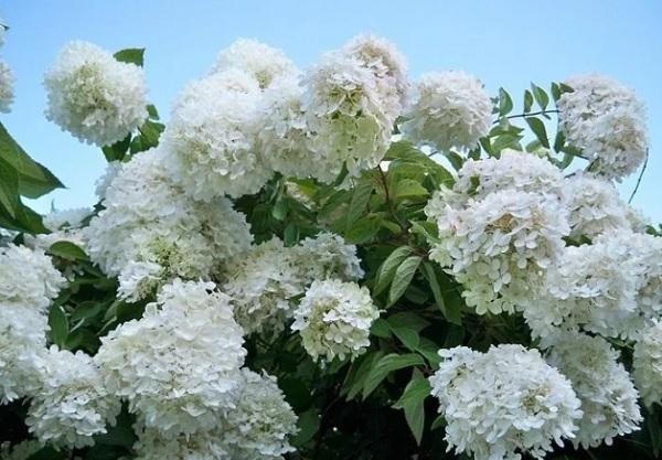 Цветущая Грандифлора