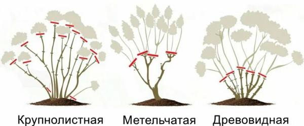 Схема обрезки разных видов гортензий