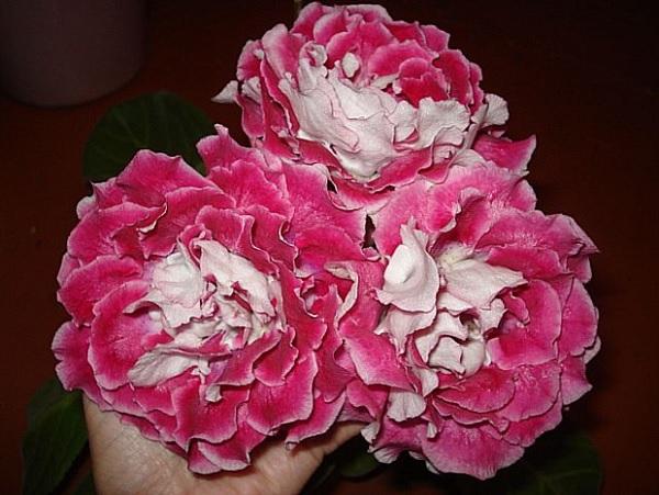 Шанхайская роза