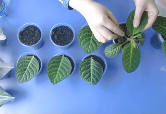 Укореннение листиков глоксинии